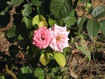 Pequeñas rosas rosas claras Fotografía de archivo
