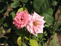 Pequeñas rosas rosas claras Imágenes de archivo libres de regalías
