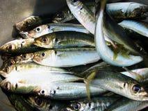 Pequeñas sardinas o scad Imágenes de archivo libres de regalías