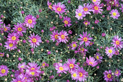 Pequeñas tarimas púrpuras Imagenes de archivo