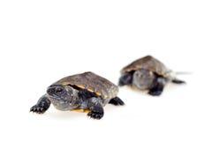 Pequeñas tortugas fotografía de archivo libre de regalías