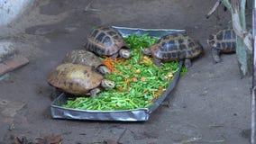 Pequeñas tortugas en Asia que comen verduras frescas almacen de video