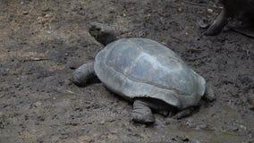 Pequeñas tortugas en Asia que comen verduras y la mirada metrajes