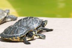Pequeñas tortugas que toman un sunbath Fotos de archivo libres de regalías