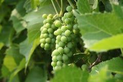 Pequeñas uvas Foto de archivo