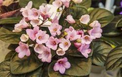 Pequeñas violetas Imagenes de archivo