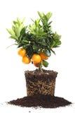 Pequeño árbol anaranjado aislado en blanco Imagen de archivo libre de regalías