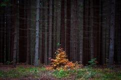 Pequeño árbol anaranjado joven hermoso y solo adentro y bosque viejo y oscuro del otoño imagen de archivo libre de regalías