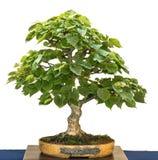 Pequeño árbol con hojas de los bonsais del als del tilo Imágenes de archivo libres de regalías