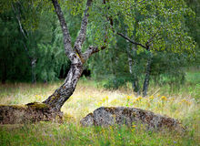 Árbol de abedul en verano Imagenes de archivo