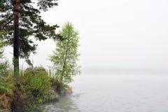 Pequeño árbol de abedul por el mar en niebla Fotografía de archivo libre de regalías