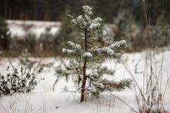 Pequeño árbol de abeto Foto de archivo