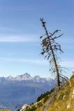 Pequeño árbol de alerce con la opinión sobre las montañas Fotos de archivo libres de regalías