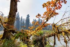 Pequeño árbol de arce colorido a lo largo del borde del río del hoh fotografía de archivo