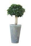 Pequeño árbol de los bonsais Fotos de archivo
