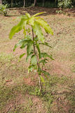 Pequeño árbol de mango Imagen de archivo libre de regalías