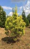 Pequeño árbol de pino fotos de archivo libres de regalías