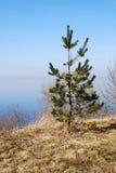 Pequeño árbol de pino Imágenes de archivo libres de regalías