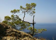Pequeño árbol de pino   Imagen de archivo