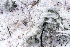Pequeño árbol de pino congelado Fotos de archivo libres de regalías
