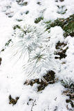 Pequeño árbol de pino cubierto con nieve Fotos de archivo libres de regalías