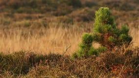 Pequeño árbol de pino en tierra en Dinamarca/romo almacen de video