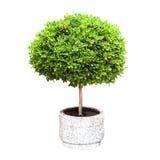 Pequeño árbol decorativo verde que crece en una vaina imagenes de archivo