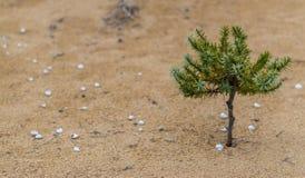 Pequeño árbol del arbusto en las dunas de arena Foto de archivo