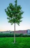 Pequeño árbol en césped verde Fotografía de archivo libre de regalías