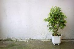 Pequeño árbol en el pote blanco en el muro de cemento del fondo Fotografía de archivo libre de regalías