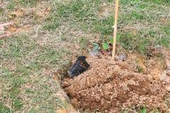 Pequeño árbol en la acción de la repoblación forestal del suelo Foto de archivo