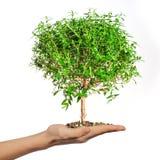 Pequeño árbol en las manos Imagen de archivo
