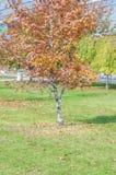 Pequeño árbol en otoño en un césped de la hierba verde en la ciudad imagen de archivo