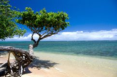 Pequeño árbol hermoso del heliótropo en la playa de Anini Fotos de archivo libres de regalías