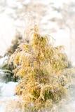 Pequeño árbol imperecedero cubierto con helada Fotografía de archivo libre de regalías