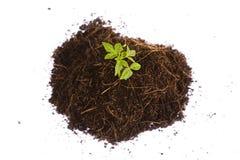Pequeño árbol joven que crece en una pila de suciedad Imagen de archivo libre de regalías