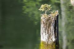 Pequeño árbol peculiar en un tronco de árbol de la muerte en un lago en Rumania Fotografía de archivo