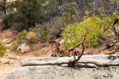 Pequeño árbol que crece de una roca en el desierto Imágenes de archivo libres de regalías