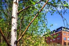 Pequeño abedul joven en parque de la ciudad de la primavera Foto de archivo