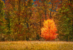 Pequeño abedul solo contra de bosque del otoño Fotos de archivo libres de regalías