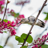 Pequeño Abeja-colibrí del pájaro imagen de archivo