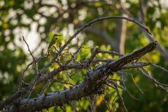 Pequeño abeja-comedor en rama del árbol muerto Fotografía de archivo