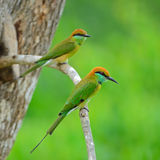 Pequeño Abeja-comedor verde Fotografía de archivo libre de regalías