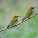 Pequeño Abeja-comedor verde Imagenes de archivo