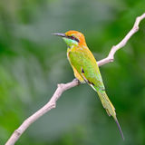 Pequeño Abeja-comedor verde Foto de archivo