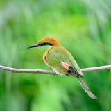 Pequeño Abeja-comedor verde Foto de archivo libre de regalías