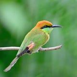 Pequeño Abeja-comedor verde Fotografía de archivo