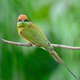 Pequeño Abeja-comedor verde Imagen de archivo libre de regalías