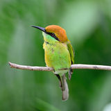 Pequeño Abeja-comedor verde Imágenes de archivo libres de regalías