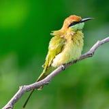 Pequeño Abeja-comedor verde Fotos de archivo